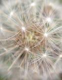 Szczegół dandelion zdjęcia royalty free