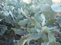 Szczegół Duży kaktus Piękna tłustoszowata roślina zdjęcie stock