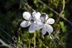 Szczegół dzicy anemonowi kwiaty obraz royalty free