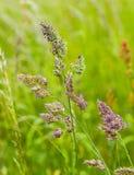Szczegół dzikie narastające traw rośliny Zdjęcie Royalty Free