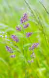 Szczegół dzikie narastające traw rośliny Fotografia Stock