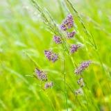 Szczegół dzikie narastające traw rośliny Zdjęcia Royalty Free