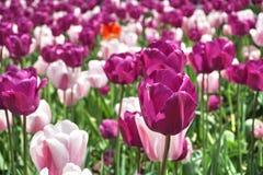Szczegół fiołkowy kwiat wśród wiele różowych leluj w miasto ogródu łóżku jako symbol miłość i piękno, (purpur) Fotografia Stock