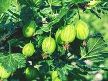 Szczegół gałąź z potomstwami zielenieje dojrzałych agresty Zdjęcia Stock
