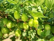 Szczegół gałąź z potomstwami zielenieje dojrzałych agresty Fotografia Stock