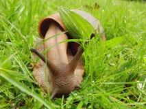 Szczegół Gigantyczny Afrykański Gruntowy ślimaczek na trawie 2 Fotografia Stock
