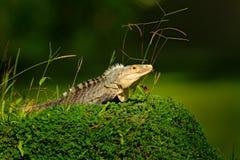 Szczegół iguana Portret zielona iguana w ciemnozielonym lesie, Costa Rica Przyrody scena od natury Zakończenie twarzy portrai Obraz Stock