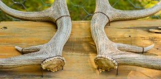 Szczegół jeleni rogi zdjęcie royalty free