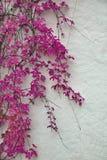 Szczegół jesienny różowy bluszcz na malującej ścianie Zdjęcia Royalty Free