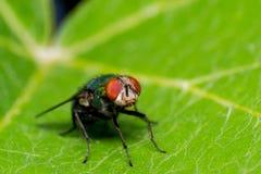 Szczegół kierownicza komarnica na zielonym liścia tle Zdjęcia Stock