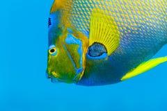 Szczegół kolorowa królowej Angelfish twarz, holacanthus ciliaris w błękitne wody, Obraz Stock