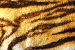 Szczegół kolorowy tygrysi futerko obraz royalty free
