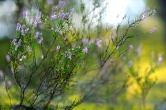Szczegół kwiatonośna wrzos roślina Zdjęcie Stock