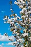 Szczegół Kwitnąć drzewa Obraz Stock
