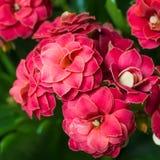 Szczegół kwitnący czerwony Kalanchoe blossfeldiana Zdjęcie Royalty Free