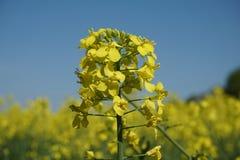 Szczegół kwitnący rapeseed, Brassica napus Zdjęcia Stock