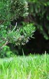 Szczegół Kwitnący rozmaryny w ogródzie Fotografia Stock