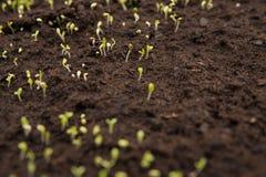 szczegół mały sadzonkowy dorośnięcie na ziemi Zdjęcie Stock