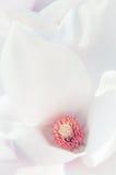 Szczegół magnoliowy kwiat zdjęcia royalty free