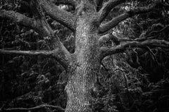 Szczegół majestatyczny dębowy drzewo w lesie w czarny i biały Fotografia Royalty Free