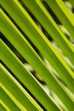 Szczegół na zielonym palmowym liściu Zdjęcia Royalty Free