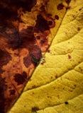 Szczegół nieżywy drzewny liść Fotografia Stock