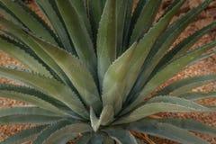 Szczegół niebieskozielonej agawy liścia kaktusowa kiść Fotografia Stock