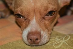 Szczegół od nosa chihuahua dog3 i oka fotografia royalty free