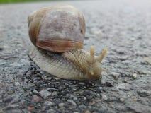 Szczegół ogrodowy ślimaczek, Helix pomatia/ obrazy royalty free