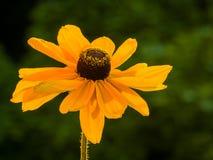 Szczegół pojedynczy słonecznikowy ustawiający przeciw głębokiemu - zielony tło fotografia stock