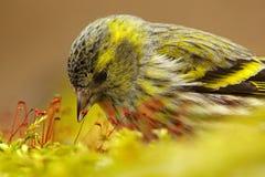 Szczegół ptak śpiewający w ładnym mech Eurazjatycki czyżyk, Carduelis spinus, pieśniowy ptasi obsiadanie na gałąź z żółtym liszaj Zdjęcie Stock