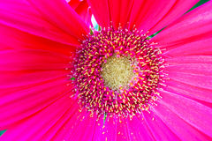 Szczegół różowy kwiat z pistil i stamens Zdjęcia Royalty Free