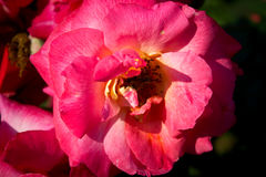 Szczegół róży kwiat Obrazy Stock