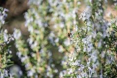 Szczegół rozmaryny kwitnie z pszczołą zdjęcia stock