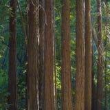 Szczegół sekwoj drzewa w Pfeiffer Sura stanu Dużym parku fotografia royalty free