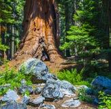 Szczegół starzy sekwoj drzewa obrazy stock