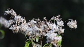 Szczegół suchy kwiatu okwitnięcie zbiory wideo
