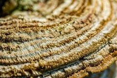 Szczegół tekstura grzybowy Trametes versicolor na drzewnym bagażniku obraz stock