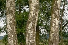 Szczegół trzy brzoza drzewnego bagażnika Zdjęcia Stock