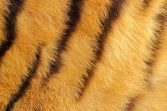 Szczegół tygrysi futerko fotografia royalty free