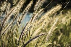 Szczegół tylne zaświecać kota ogonu trawy w Sydney, Australia Obraz Royalty Free
