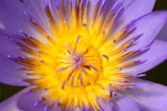 Szczegół wśrodku purpurowego lotosu Fotografia Stock