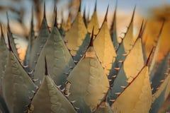 Szczegół zamknięty agawy roślina z długimi cierniami z niektóre liśćmi podkreślającymi w świetle słonecznym up Obraz Stock