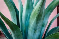Szczegół zamknięty niebieskozielona agawy roślina z gładkimi liśćmi i cierniami na poradzie up tylko Obrazy Stock