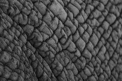 Szczegółowa fotografia skóra Afrykański słoń, fotografująca w monochromu przy Knysna słonia parkiem, Południowa Afryka obrazy royalty free