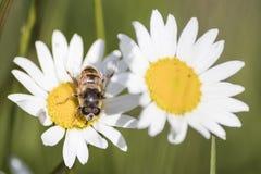 Szczegółowa pluskwa na stokrotka kwiacie podczas wiosny zdjęcie royalty free