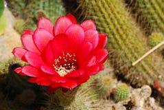 Szczegółowy czerwony kaktusowy okwitnięcie Fotografia Stock