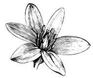 szczegółowy nakreślenie kwiat obrazy stock