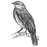 Szczegółowy nakreślenie ptak na gałąź Obrazy Royalty Free