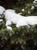 Szczegółowy widok śnieg Zakrywająca sosny gałąź obrazy stock